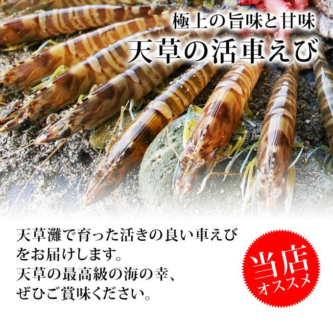 【送料無料】天草活車えび/650g(約25尾前後)
